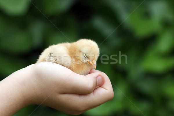 Sleepy little yellow chicken in children hand Stock photo © goce