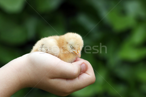 Somnolent peu jaune poulet enfants main Photo stock © goce