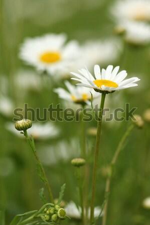 Kamille Garten Hintergrund Sommer Stock foto © goce