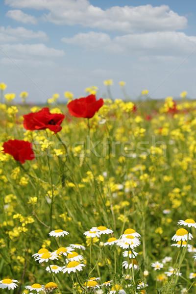Zdjęcia stock: Rumianek · maku · kwiaty · łące · niebo · charakter