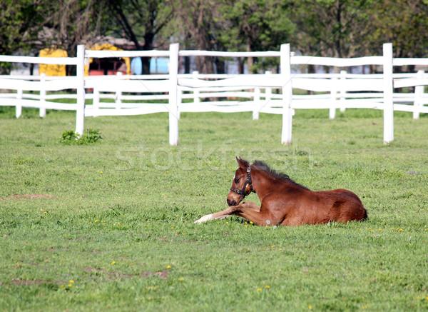 Stock photo: brown foal lying in corral