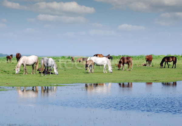 herd of horses on pasture by river Stock photo © goce
