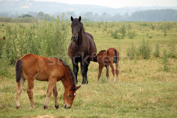 mare with foals on pasture Stock photo © goce