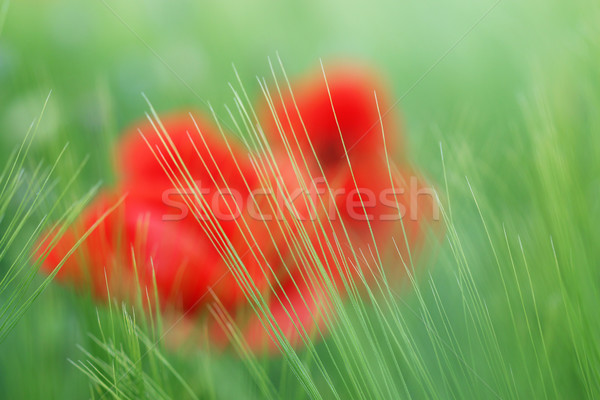 green grass and poppies flower nature background Stock photo © goce