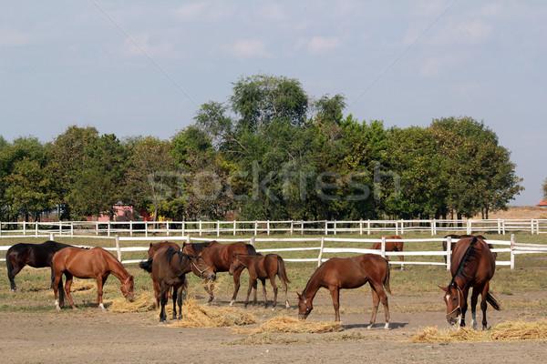 herd of horses in corral Stock photo © goce