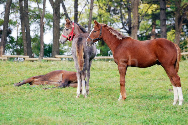 two young horses on pasture Stock photo © goce