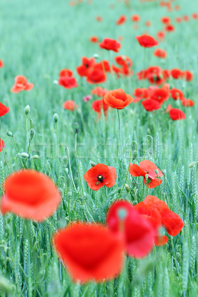 poppies flower in green field spring season Stock photo © goce
