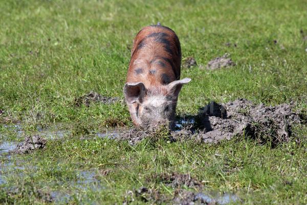 Kicsi disznó sár farm jelenet víz Stock fotó © goce