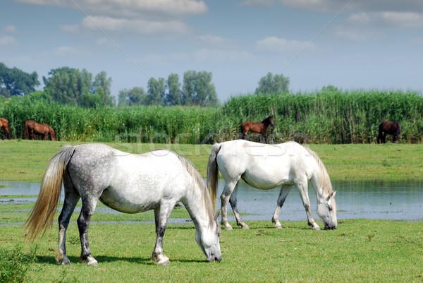 white horses on pasture farm scene  Stock photo © goce