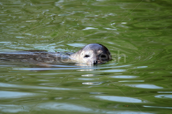 Mühürlemek yüzme su yaban hayatı hayvanlar hayvan Stok fotoğraf © goce