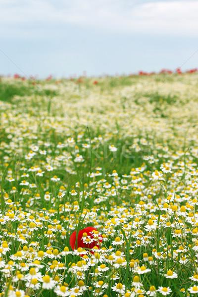 Manzanilla flores silvestres campo primavera temporada naturaleza Foto stock © goce