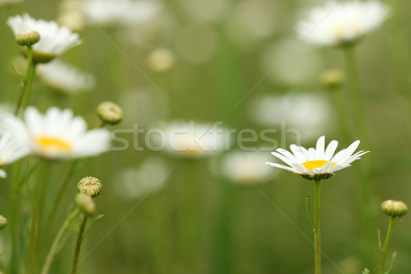 Fehér kamilla vadvirág legelő kert háttér Stock fotó © goce