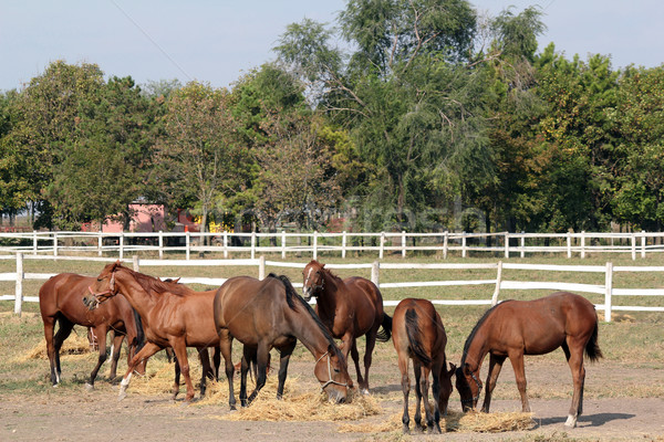 horses eating hay farm scene Stock photo © goce