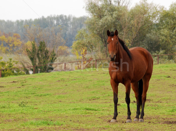 brown horse in pasture Stock photo © goce