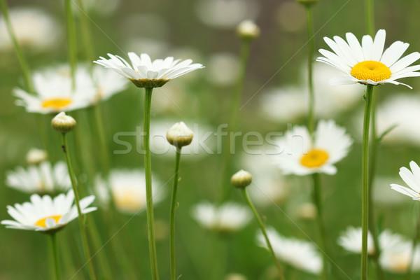 Branco camomila primavera temporada jardim Foto stock © goce