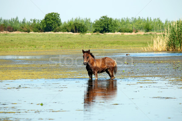 Stock photo: foal standing in water summer season