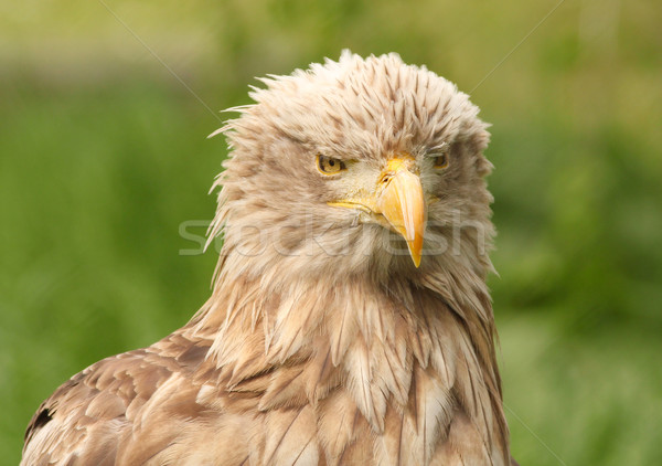 European white tailed eagle Stock photo © goce