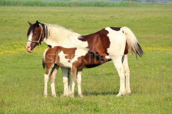 foal feeding with milk Stock photo © goce