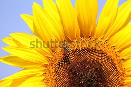 bright yellow sunflower  Stock photo © goce