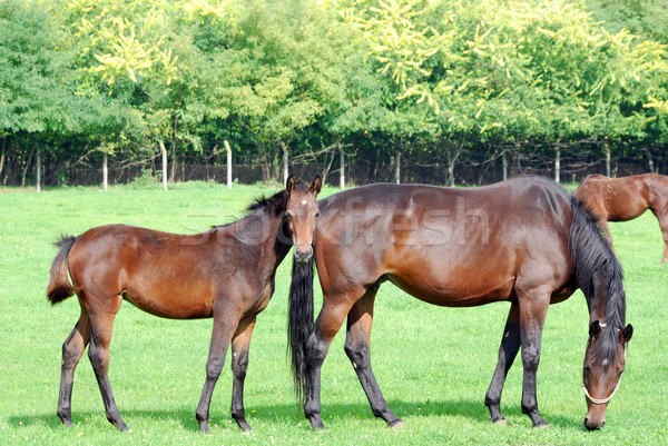 brown horse and foal Stock photo © goce