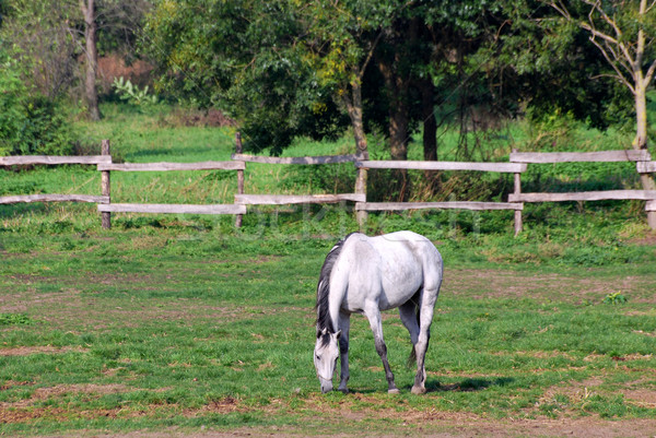 white horse on pasture Stock photo © goce