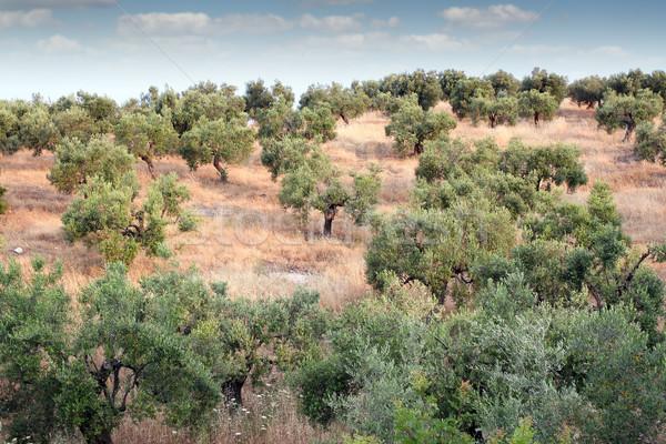 Oliva alberi Hill panorama Grecia albero Foto d'archivio © goce