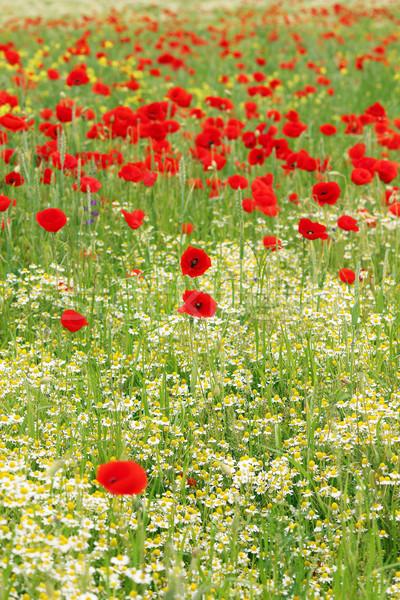 Prado flores silvestres primavera temporada natureza paisagem Foto stock © goce