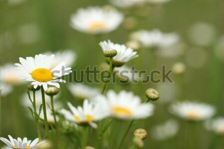 Fehér vad virágok nyár évszak tavasz természet Stock fotó © goce