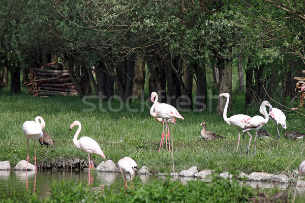 flock of flamingos in pond Stock photo © goce