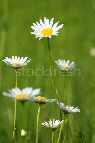 Białe kwiaty rosa liści wiosną charakter lata Zdjęcia stock © goce