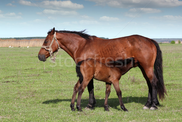 Stock photo: foal feeding with milk on pasture