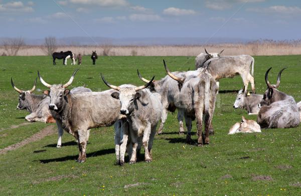 Farm tehenek testtartás tehén fiatal szarvasmarha Stock fotó © goce