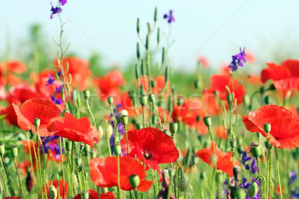 Vad virágok legelő tavasz évszak virágok természet Stock fotó © goce