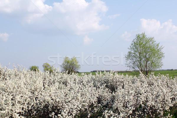 Bomen witte bloemen voorjaar scène bloem boom Stockfoto © goce