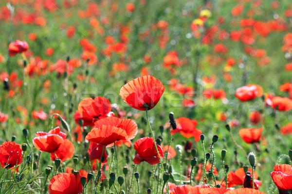 Flor prado paisagem primavera temporada Foto stock © goce