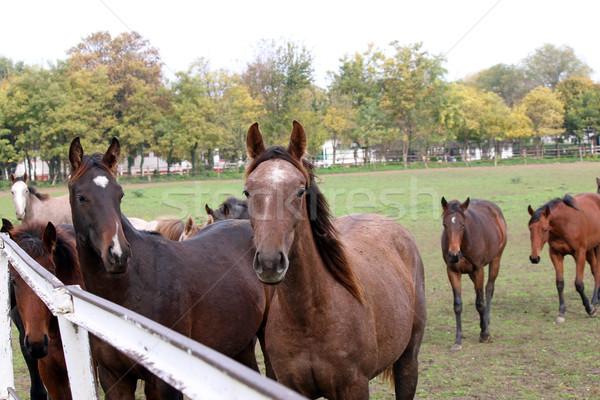 Rebanho cavalos fazenda cavalo campo verde Foto stock © goce