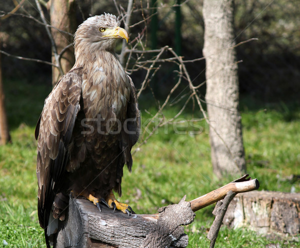 white tailed eagle standing on wood Stock photo © goce