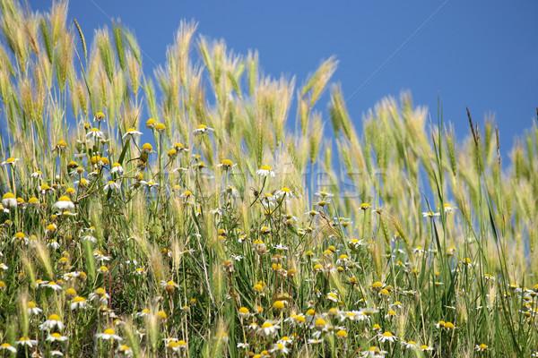 łące rumianek trawy kwiaty charakter Zdjęcia stock © goce