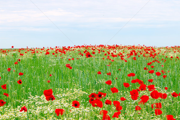 red poppies flower meadow and blue sky springtime Stock photo © goce