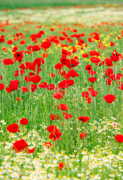 Primavera flores silvestres campo paisaje naturaleza verano Foto stock © goce
