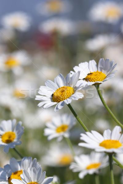 ромашка весны сезон природы области Сток-фото © goce