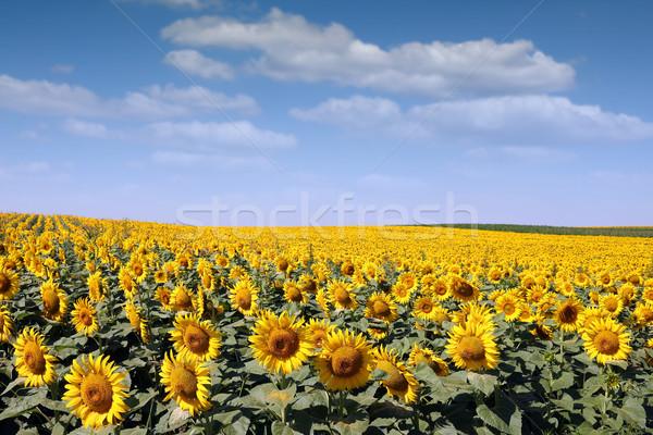 ヒマワリ フィールド 農業 夏 シーズン 緑 ストックフォト © goce