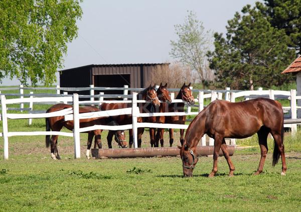 лошадей ранчо природы лошади области зеленый Сток-фото © goce