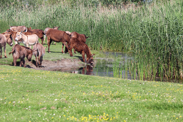 donkeys drinking water Stock photo © goce