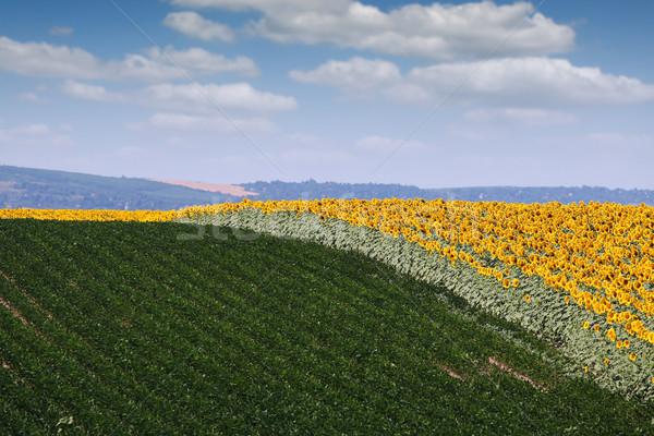 sunflower and soybean field landscape summer season Stock photo © goce