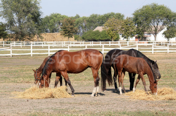 horses farm scene Stock photo © goce