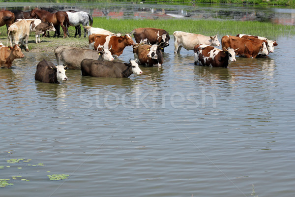 farm scene with cows on river Stock photo © goce