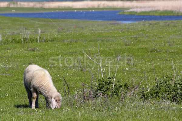 ягненка пастбище трава природы пейзаж области Сток-фото © goce