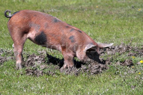 Peu porc boue eau alimentaire nature Photo stock © goce