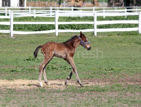 cute foal running farm scene Stock photo © goce